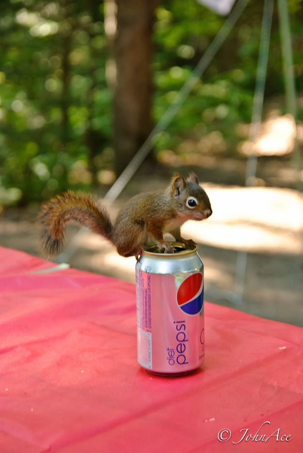 The cutest baby squirrel ever.. It's so small compared to the can of Pepsi!