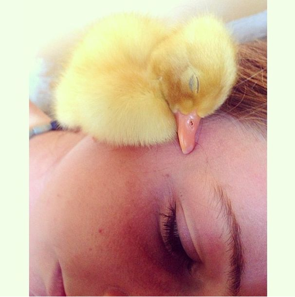 Nap time baby duck