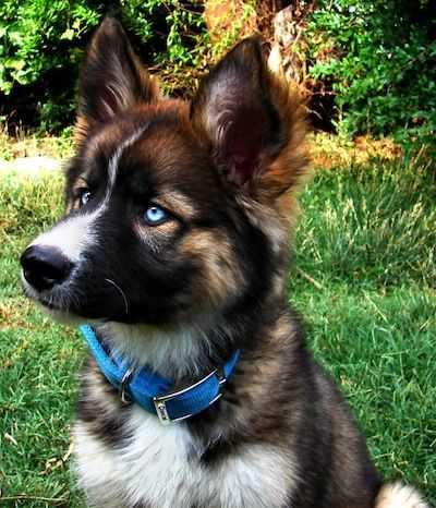Gerberian Shepsky, my future dog (German Shepherd Husky mix) @connerhickey would love this puppy (: