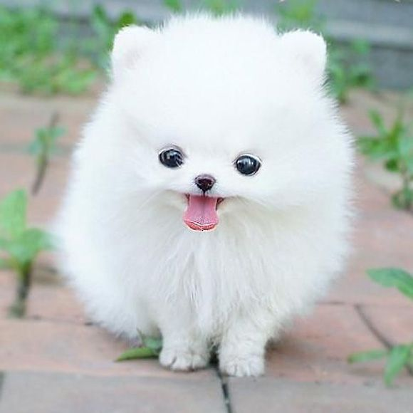 Marshmallow fluff pup. I just can't help it. I like you very much. #cute #pets #petlover #white