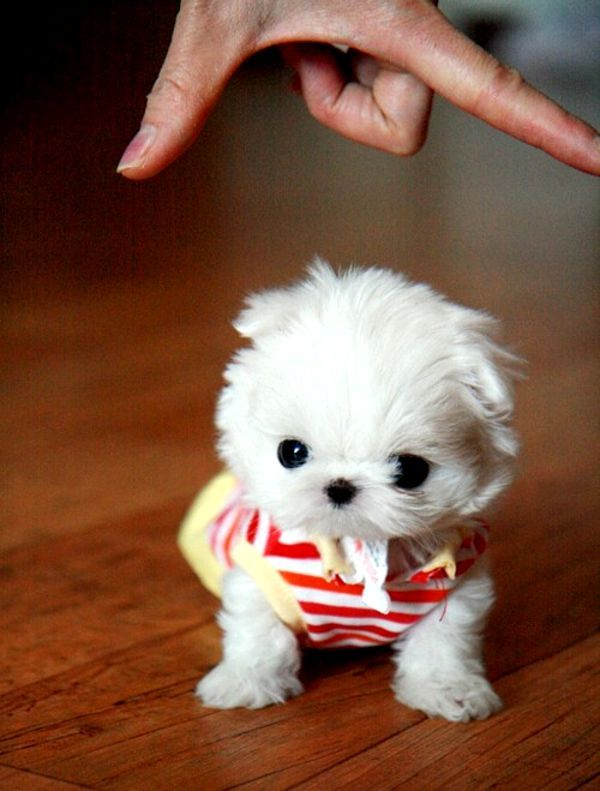 teacup maltese. Eeee!! This can't be real? So cute!!