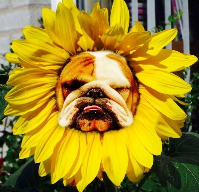 The dog in world: Bulldog dogs