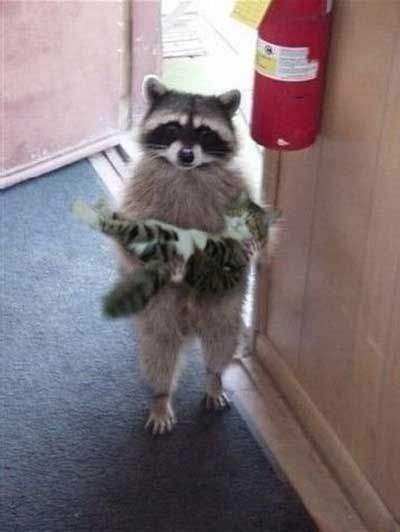 Raccoon carrying a Cat .... no way