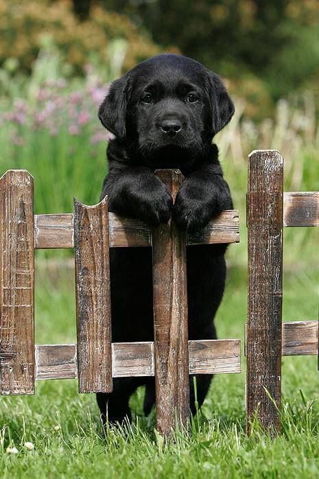 17 Labrador Retrievers
