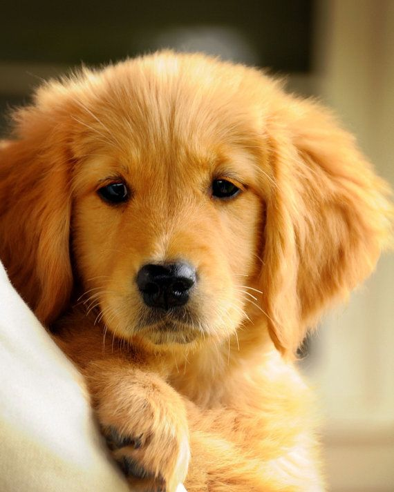 Adorable Golden Retriever puppy! #GoldenRetriever #Puppy Everything you need to know about Golden Retrievers: https://www.petpremium.com/pet-health-center/dog-breeds/golden-retriever/ @PetPremium Pet Insurance