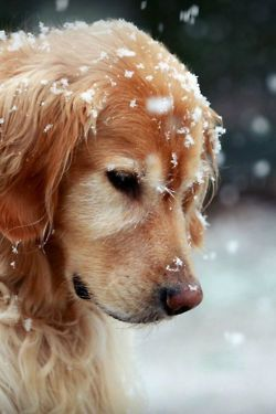 Snow falling on this sweet puppy #dog #animals #pets #winter