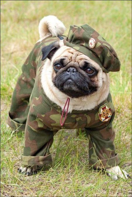 G.I. Pug, reporting for duty.