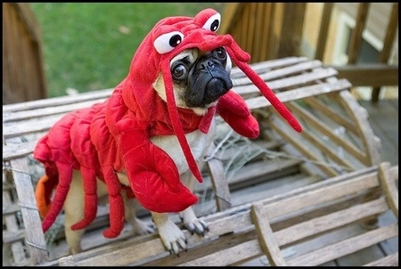 Pug in a Lobster outfit, always a win.
